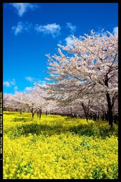 群馬の赤城南面千本桜①