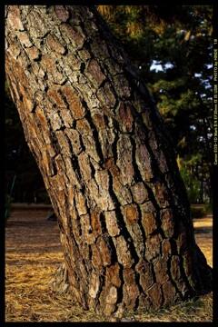 前橋の敷島公園松林にて⑫