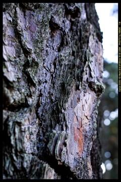 前橋の敷島公園松林にて⑪