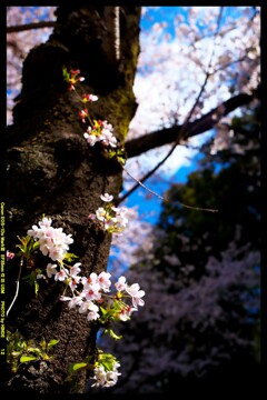 群馬の赤城南面千本桜⑦