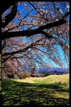 群馬の大胡グリーンフラワー牧場と桜と①