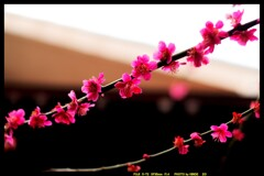 前橋の我が家の庭と花と⑤