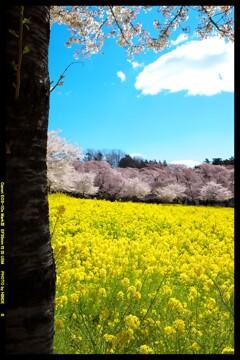 群馬の赤城南面千本桜④