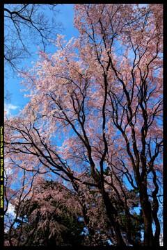 前橋の敷島公園と桜の開花と②