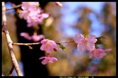 前橋の熊野神社境内の桜④