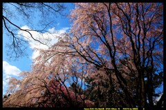 前橋の敷島公園と桜の開花と①