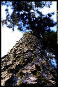 前橋の敷島公園松林にて⑬