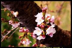 前橋の敷島公園と桜の開花と③