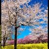 群馬の赤城南面千本桜⑤