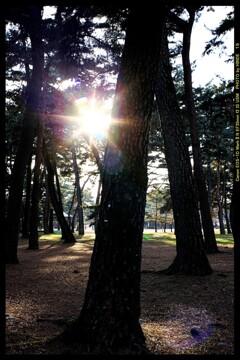 前橋の敷島公園松林にて⑧