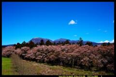 風車と桜と赤城山と①
