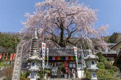 林陽寺のしだれ桜2020