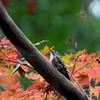 秋色コゲラさん2