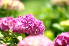 紫陽花の頃05