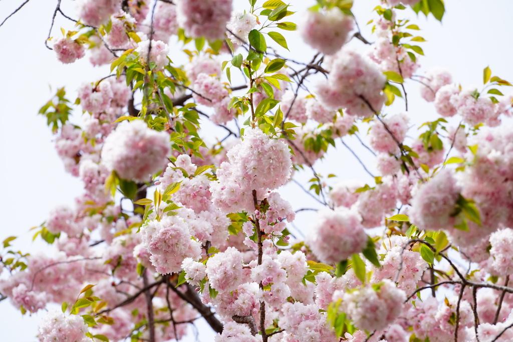 鹽竈桜01