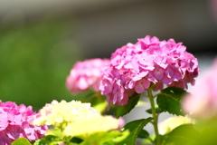 紫陽花の頃06