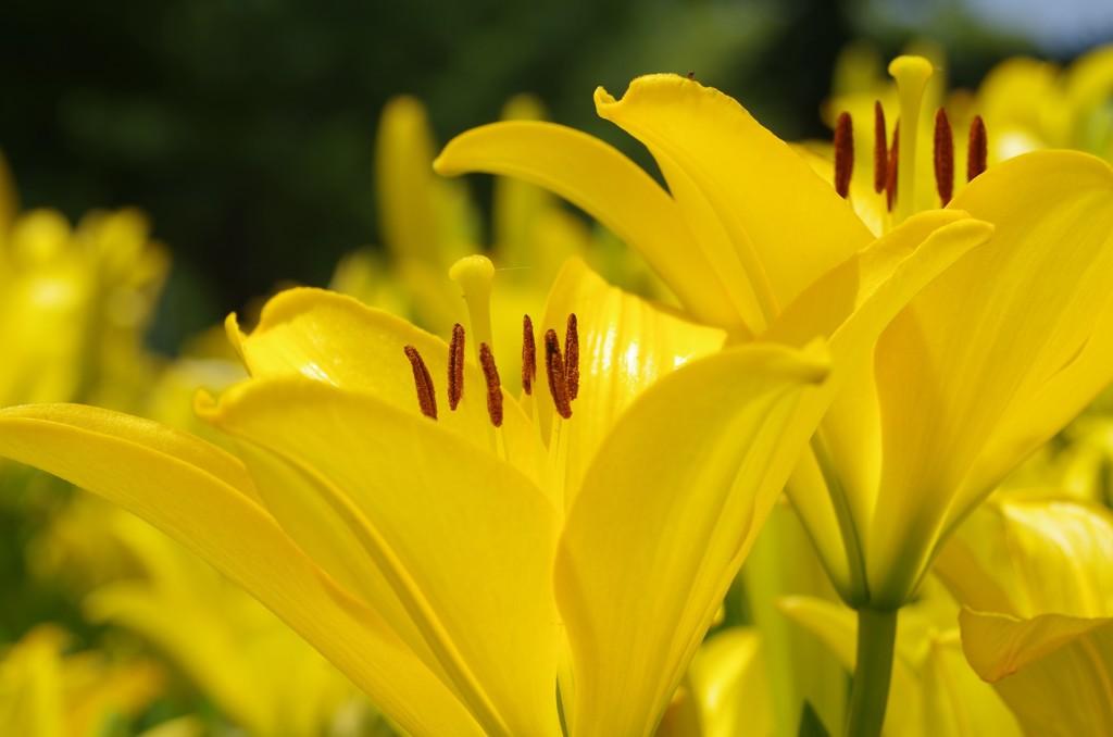 ユリ花壇2