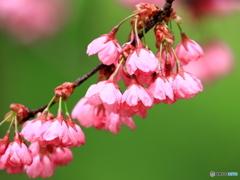 横浜緋桜 ③ 200329