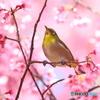 オカメ桜のメジロ 180318