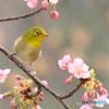 河津桜とメジロ 180308