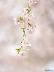 枝垂れ桜 ② 200329