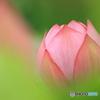 蓮の花 ⑤ 190702