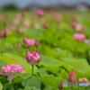 ハスの花 ⑥ 210713