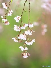 枝垂れ桜 ③ 200329