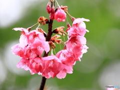 横浜緋桜 ① 200329