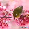 オカメ桜とメジロ 180317