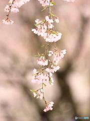 枝垂れ桜 ① 200329