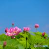 ハスの花 ⑤ 210713