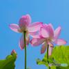 ハスの花 ④ 210713