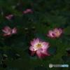 ハスの花 ③ 190714