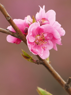 花桃 ピンク