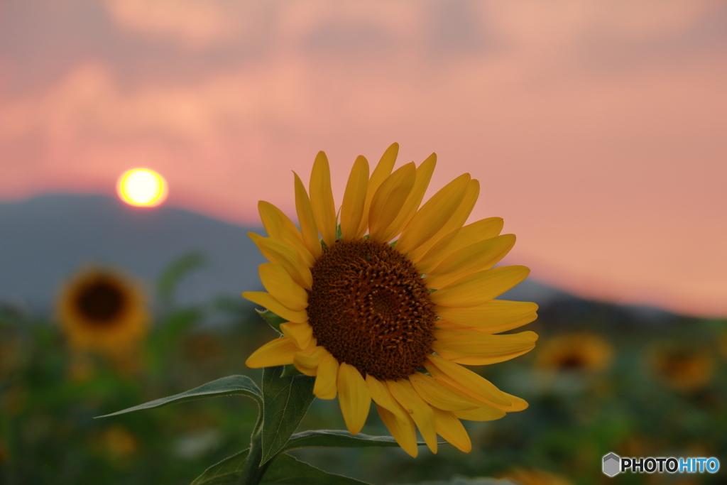 夕陽とひまわり