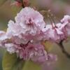 息子の借り物で桜
