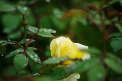秋薔薇香る。。