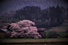 里山の桜。。