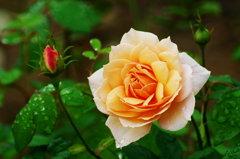 秋薔薇。。