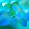 紫陽花の花言葉は「移り気」
