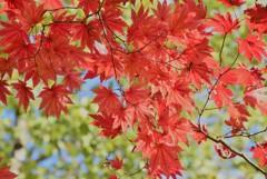 斜光浴びて~明るい紅葉~♪