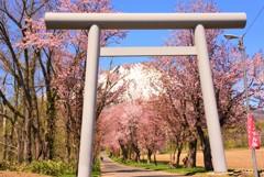 鳥居から蝦夷富士の春♪