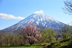 蝦夷富士と蝦夷山桜♪