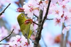桜~♪サクジロー(∩´∀`)∩