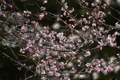 今年の桜花は憂いありて~♪