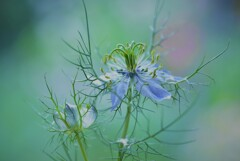 Love in a mist♪**""