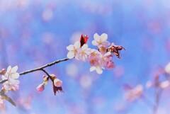桜謳歌~♪
