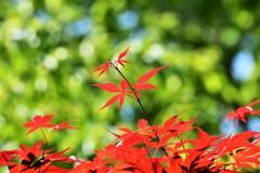 """初夏の紅葉♪**"""""""