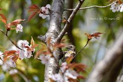 桜とコゲラ